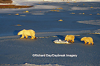 01874-01114 Polar Bears (Ursus maritimus) female with 2 cubs walking on frozen pond  Churchill  MB