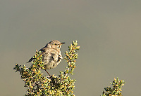 581980005 a wild sage thrasher oreoscoptes montanus perches in a small bush in a forested area in central washington