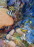 23 July 2015: A pair of Banded Butterflyfish, Chaetodon striatus, swim on the reef at Main Street, on the North Shore of Grand Cayman Island. Located in the British West Indies in the Caribbean, the Cayman Islands are renowned for excellent scuba diving, snorkeling, beaches and banking.  Mandatory Credit: Ed Wolfstein Photo *** RAW (NEF) Image File Available ***