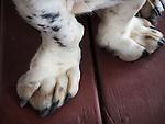 Old Bassett Hound paws