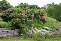Rosa rugosa roses in large planting as barrier hedge, with fence and wall