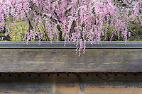 Cherry blossom hangs over the small roof of the wall surrounding the Ryoan-Ji Temple garden