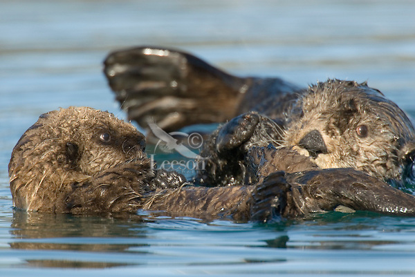 Sea Otter (Enhydra lutris) mom with pup.