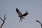 Circaète brun, Brown Snake-Eagle (Circaetus cinereus)