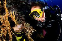 scuba diver looking a catshark egg, Scyliorhinus sp., Vis Island, Croatia, Adriatic Sea, Mediterranean