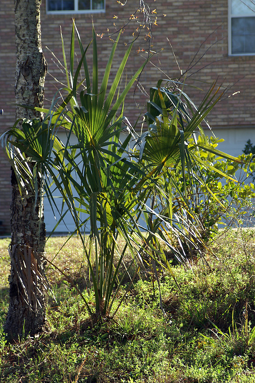 small cabbage palm
