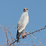 Pale chanting Goshawk wathing the action from a tree in Etosha National Park, Namibia