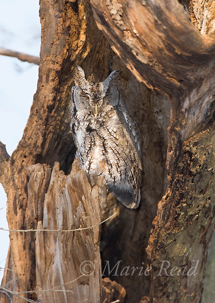 Eastern Screech-Owl (Otus asio), adult gray morph, sleeping in a hollow tree. Ithaca, New York, USA