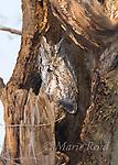 Eastern Screech-Owl (Otus asio), adult gray morph, sleeping in a hollow tree. Ithaca, New York, USA