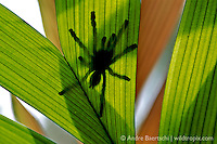 Arboreal Tarantula (Avicularia sp.) on a palm leaf in lowland tropical rainforest, Bahuaja-Sonene National Park, Madre de Dios, Peru.