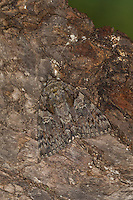 Südeuropäisches Ordensband, Großes Eichenordensband, Großes Eichen-Ordensband, Catocala dilecta, La Bien-Aimée. Eulenfalter, Noctuidae, noctuid moths, noctuid moth. Tarnung, Tarntracht, Verbergetracht, Camouflage, Mimese, mimesis