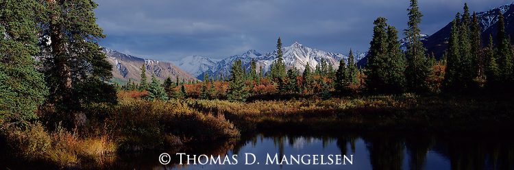 Nestled among spruce trees, a hidden tundra lake reflects the changes of autumn in Denali National Park, Alaska.