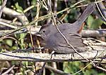 "Grey Catbird.   Green Key, Florida.  Call note: ""Meeow""."