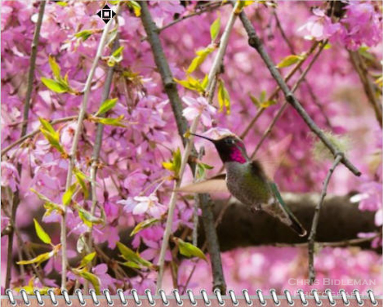 2015 Calendar - Birds of a Feather with photography by Chris Bidleman.<br /> Annas Hummingbird feeding on cherry tree blossoms in early Spring at the Portland Japanese Garden in Portland, OR