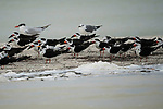 Black Skimmers - Rynchops niger, mixed with Royal Terns and Laughing Gulls  in the Ria Lagartos Biosphere Reserve, a UNESCO World Biosphere Reserve in Yucatan, Mexico.