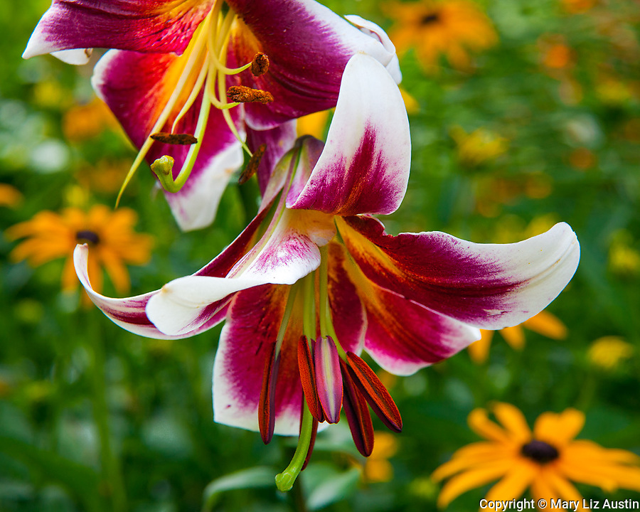 Lilium 'Miss Lily' (Oriental Trumpet Lily)