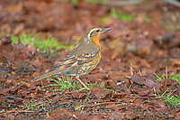 Female Varied Thrush, Washington