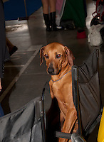 Rhodesian Ridgeback sittin in a black chair during the international dog show in Prague, Europe.<br /> <br /> The Rhodesian Ridgeback is a dog breed developed in Southern Africa. Its European forebears can be traced to the early pioneers of the Cape Colony of southern Africa, who crossed their dogs with the semi-domesticated, ridged hunting dogs of the Khoikhoi.<br /> <br /> In the earlier parts of its history, the Rhodesian Ridgeback has also been known as Van Rooyen's Lion Dog, the African Lion Hound or African Lion Dog&mdash;Simba Inja in Ndebele, Shumba Imbwa in Shona&mdash;because of its ability to keep a lion at bay while awaiting its master to make the kill.<br /> <br /> The original breed standard was drafted by F.R. Barnes, in Bulawayo, Southern Rhodesia (now Zimbabwe), in 1922. Based on that of the Dalmatian, the standard was approved by the South African Kennel Union in 1927.