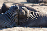 Elephant seal weaners play