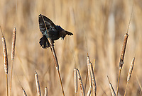 Brown-headed cowbirds were making territorial displays and calls in the wetlands at Market Lake.