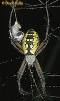0823-06xx  Garden spider - Argiope aurantia © David Kuhn/Dwight Kuhn Photography