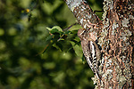 Yellow-bellied sapsucker - immature