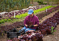 Volunteers harvesting red lettuce in field at Indian Valley Organic Farm & Garden