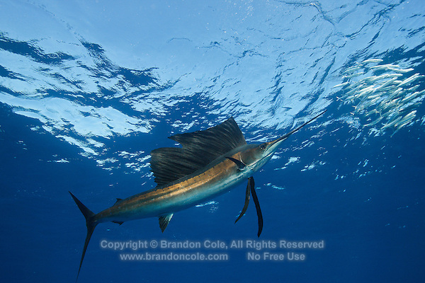 qh1327-D. Atlantic Sailfish (Istiophorus albicans) feeding on sardines. Some consider this the same species as the Indo-Pacific Sailfish (I. platypterus). Mexico, Gulf of Mexico..Photo Copyright © Brandon Cole. All rights reserved worldwide.  www.brandoncole.com..This photo is NOT free. It is NOT in the public domain. This photo is a Copyrighted Work, registered with the US Copyright Office. .Rights to reproduction of photograph granted only upon payment in full of agreed upon licensing fee. Any use of this photo prior to such payment is an infringement of copyright and punishable by fines up to  $150,000 USD...Brandon Cole.MARINE PHOTOGRAPHY.http://www.brandoncole.com.email: brandoncole@msn.com.4917 N. Boeing Rd..Spokane Valley, WA  99206  USA.tel: 509-535-3489