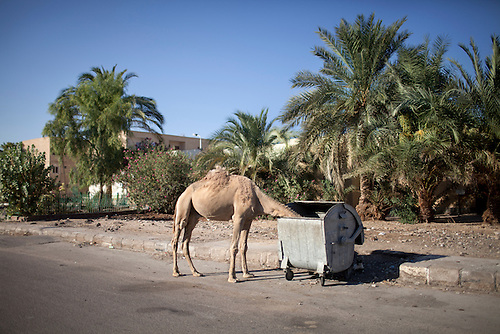 Nuweiba, Sinai, June 2014. A stray camel. A lot of animals, once used as tourist's attractions, are left abandoned.