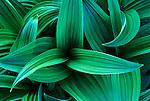 Corn Lily (Veratrum viride), Mt. Rainier NP, WA, USA