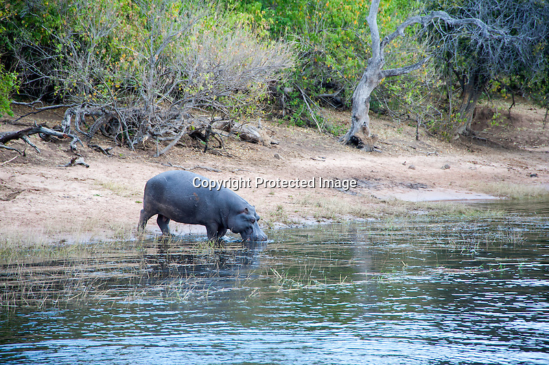 Hippo Getting a Drink at Chobe River in Chobe Nationa Park in Botswana in Africa