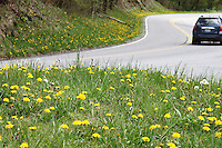 A car drives past a turning point of the newfound gap road where yellow hawkweeds field is grown in smoky mountain national park, Tennessee.