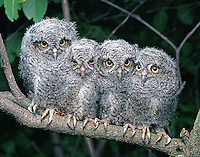 Four Eastern Screech-Owl (Otus asio) fledglings perched on a branch in May, (sw Ohio)