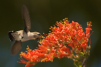 Stock - Humming Birds