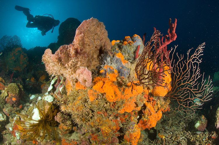 A diver approaches colourful St. Lucian fan corals and sponges
