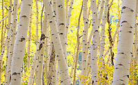 Aspens along the Last Dollar Road.<br /> <br /> Canon EOS 5D, 70-200 f/2.8L lens