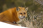 American Red Fox, Vulpes vulpes.In snow.Photographed in USA