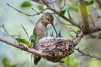 Anna' Hummingbird nest (Calypte anna)--female feeding young chicks.  Arizona.  February-March.