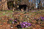 February 2, 2012. Hillsborough, NC.. Angie, the family dog, stands in a patch of lavendar tommies..  Nancy Goodwin, who used to run a mail order nursery for rare bulbs, has now preserved her gardens, which in winter, have thousands of blooming flowers and plants, including many rare species which she has cultivated and planted from seeds.