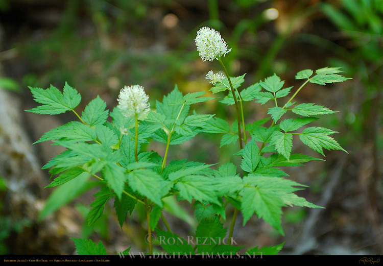 Baneberry, Actaea, Camp May Trail, Pajarito Mountain, Los Alamos, New Mexico