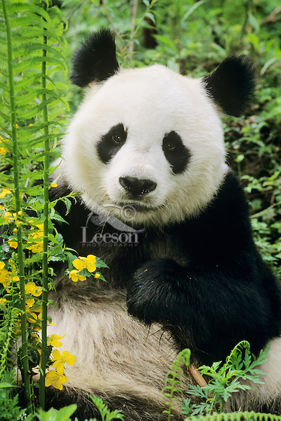 Giant Panda (Ailuropoda melanoleuca) among ferns and wildflowers in bamboo forest of central China.