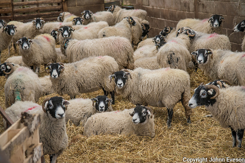 Swaledale ewes in a lambing shed at Ravenseat, Keld, Richmond, North Yorkshire.