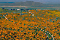 California poppies<br />