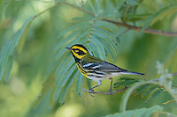 Townsend's warbler (Setophaga townsendi), adult male perched, South Padre Island, Texas, USA
