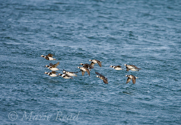 Long-tailed Ducks (Clangula hyemalis), flock  of males and females in flight, Barnegat Inlet, New Jersey, USA