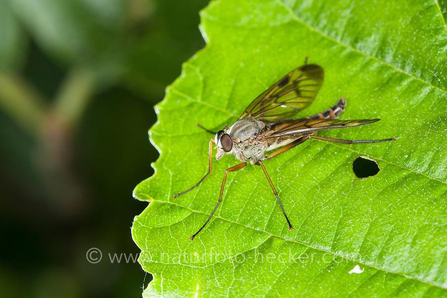 Gemeine Schnepfenfliege, Schnepfen-Fliege, Rhagio scolopaceus, downlooker snipefly, Snipe Fly, Snipe-Fly, Schnepfenfliegen, Rhagionidae, snipe flies, snipeflies, snipe-flies, downlooker, down-looker flies