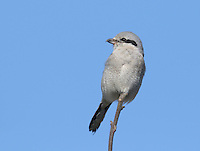 An adult northern shrike perches in the sun between hunting forays.<br />