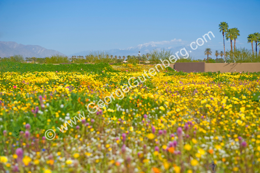 Desert wildflowers in foreground with back drop of snow-covered mountains and palm trees