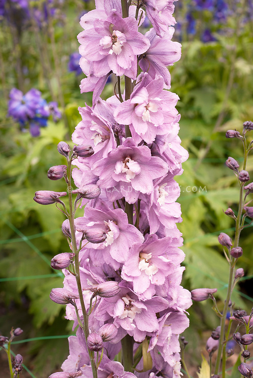 Delphinium Rose Blush with White Bee
