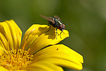 Green Bottle Fly on Daisy, Blowfly, Lucilia, Southern California